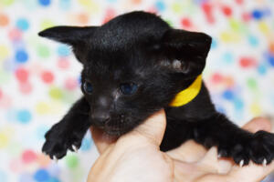 Oriental short-hair kitten for sale from Cataristocrat Tonya 4 weeks (6)