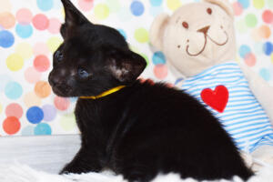 Oriental short-hair kitten for sale from Cataristocrat Tonya 4 weeks (8)