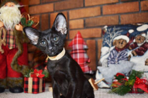Oriental short hair kitten for sale from Cataristocrat-Barney 10weeks (1)