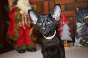 Oriental short hair kitten for sale from Cataristocrat-Barney 10weeks (10)