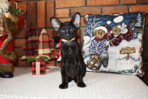 Oriental short hair kitten for sale from Cataristocrat-Barney 10weeks (11)