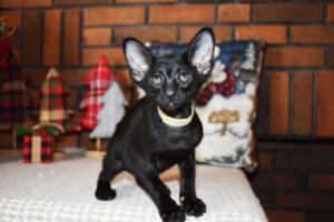 Oriental short hair kitten for sale from Cataristocrat-Barney 10weeks (12)