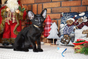 Oriental short hair kitten for sale from Cataristocrat-Barney 10weeks (14)