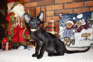 Oriental short hair kitten for sale from Cataristocrat-Barney 10weeks (2)