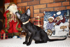 Oriental short hair kitten for sale from Cataristocrat-Barney 10weeks (3)