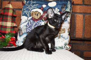 Oriental short hair kitten for sale from Cataristocrat-Barney 10weeks (4)