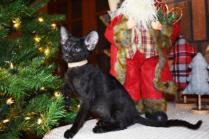 Oriental short hair kitten for sale from Cataristocrat-Barney 10weeks (5)