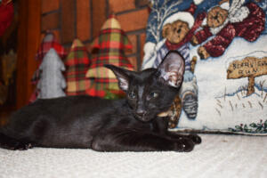 Oriental short hair kitten for sale from Cataristocrat-Barney 10weeks (6)