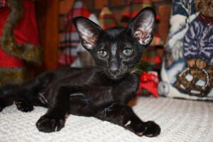 Oriental short hair kitten for sale from Cataristocrat-Barney 10weeks (7)