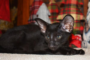 Oriental short hair kitten for sale from Cataristocrat-Barney 10weeks (8)