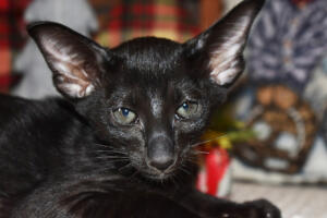 Oriental short hair kitten for sale from Cataristocrat-Barney 10weeks (9)