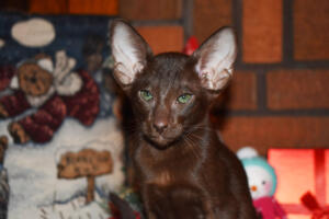 Oriental short hair kitten for sale from Cataristocrat-Diva 12weeks (1)