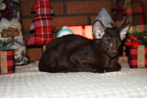 Oriental short hair kitten for sale from Cataristocrat-Diva 12weeks (10)