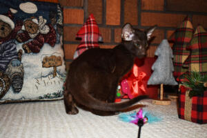 Oriental short hair kitten for sale from Cataristocrat-Diva 12weeks (3)
