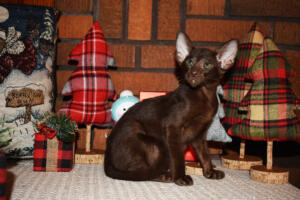 Oriental short hair kitten for sale from Cataristocrat-Diva 12weeks (5)