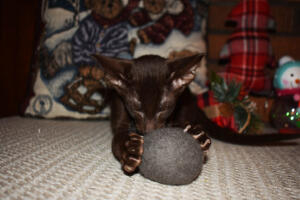Oriental short hair kitten for sale from Cataristocrat-Diva 12weeks (6)