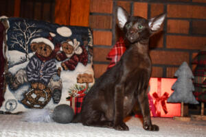 Oriental short hair kitten for sale from Cataristocrat-Diva 12weeks (9)