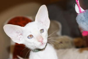 Oriental short hair kitten for sale from Cataristocrat-andre 11 weeks (11)