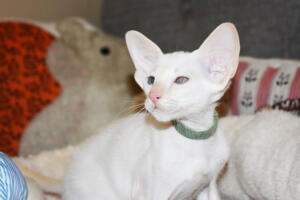 Oriental short hair kitten for sale from Cataristocrat-andre 11 weeks (12)