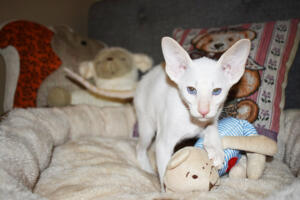 Oriental short hair kitten for sale from Cataristocrat-andre 11 weeks (2)