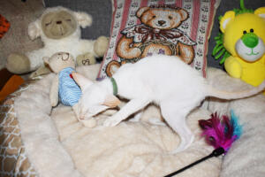 Oriental short hair kitten for sale from Cataristocrat-andre 11 weeks (3)
