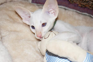 Oriental short hair kitten for sale from Cataristocrat-andre 11 weeks (4)