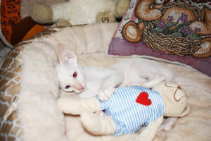 Oriental short hair kitten for sale from Cataristocrat-andre 11 weeks (5)