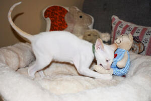 Oriental short hair kitten for sale from Cataristocrat-andre 11 weeks (7)