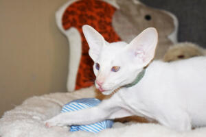 Oriental short hair kitten for sale from Cataristocrat-andre 11 weeks (9)