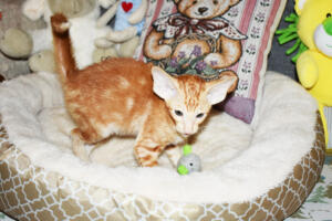 Oriental short hair kitten for sale from Cataristocrat-georgio 11 weeks (2)