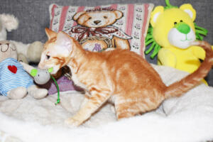 Oriental short hair kitten for sale from Cataristocrat-georgio 11 weeks (4)