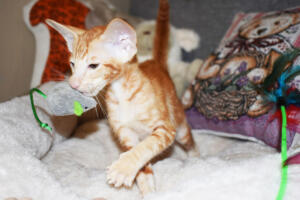 Oriental short hair kitten for sale from Cataristocrat-georgio 11 weeks (5)
