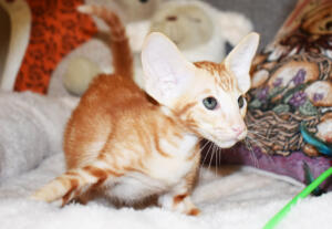Oriental short hair kitten for sale from Cataristocrat-georgio 11 weeks (6)