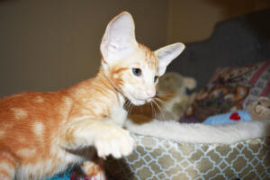 Oriental short hair kitten for sale from Cataristocrat-georgio 11 weeks (7)