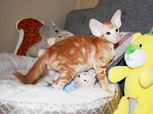 Oriental short hair kitten for sale from Cataristocrat-georgio 11 weeks (9)
