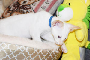 Oriental short hair kitten for sale from Cataristocrat-pneuma 11 weeks (2)