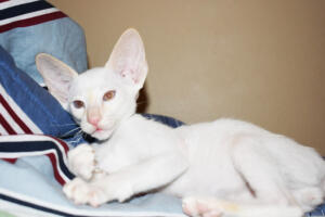 Oriental short hair kitten for sale from Cataristocrat-pneuma 11 weeks (3)