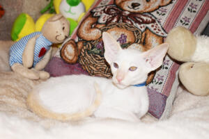 Oriental short hair kitten for sale from Cataristocrat-pneuma 11 weeks (4)