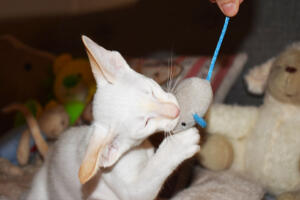 Oriental short hair kitten for sale from Cataristocrat-pneuma 11 weeks (6)