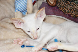 Oriental short hair kitten for sale from Cataristocrat-pneuma 11 weeks (7)