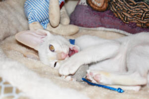 Oriental short hair kitten for sale from Cataristocrat-pneuma 11 weeks (9)