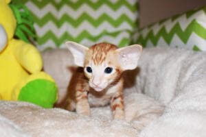 Oriental shorthair kitten for sale from Cataristocrat Giorgio 4weeks (10)