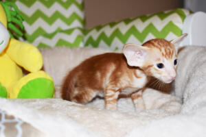 Oriental shorthair kitten for sale from Cataristocrat Giorgio 4weeks (11)