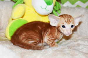 Oriental shorthair kitten for sale from Cataristocrat Giorgio 4weeks (3)