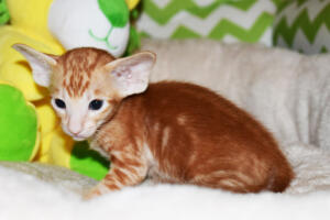 Oriental shorthair kitten for sale from Cataristocrat Giorgio 4weeks (4)