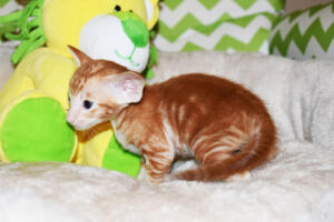 Oriental shorthair kitten for sale from Cataristocrat Giorgio 4weeks (5)