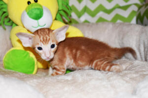 Oriental shorthair kitten for sale from Cataristocrat Giorgio 4weeks (6)