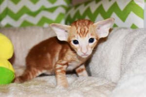 Oriental shorthair kitten for sale from Cataristocrat Giorgio 4weeks (7)