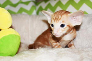 Oriental shorthair kitten for sale from Cataristocrat Giorgio 4weeks (8)
