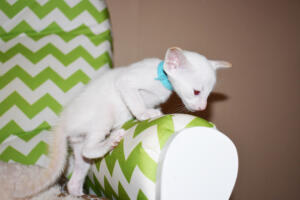 Oriental shorthair kitten for sale from Cataristocrat Pneuma 4 weeks (11)
